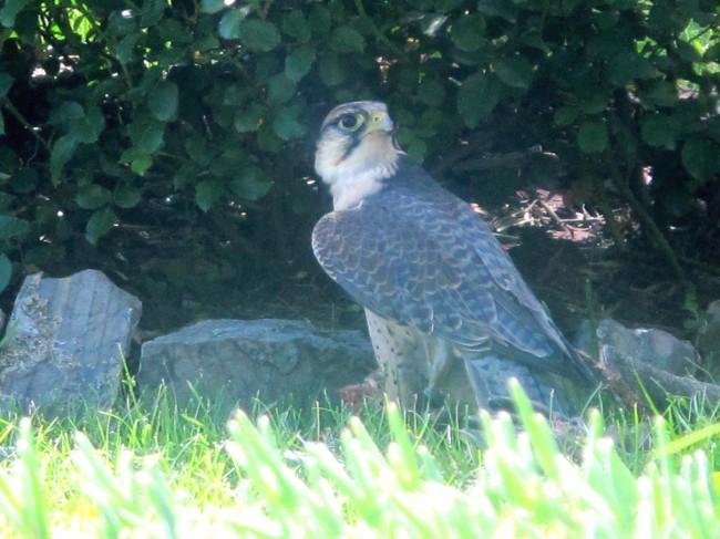 faucon falcone