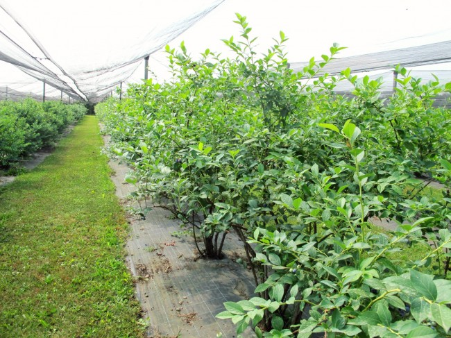 azienda agricola millefrutti raccolta frutta