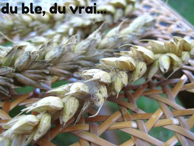 épis blé tendre