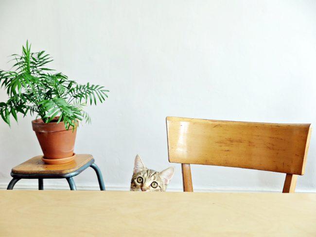 chat domestique
