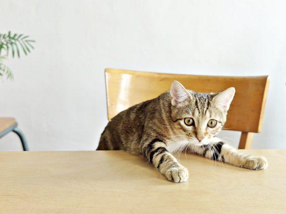 adopter chaton