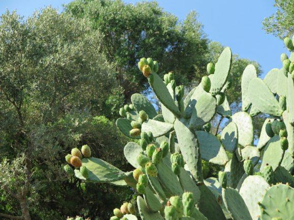 cactus figuier