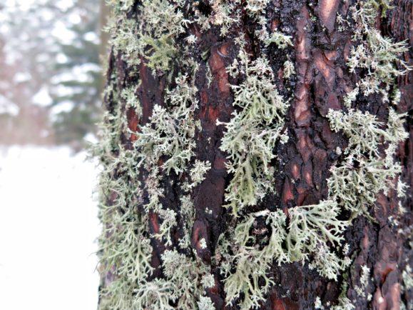 mousse arbre hiver pilat