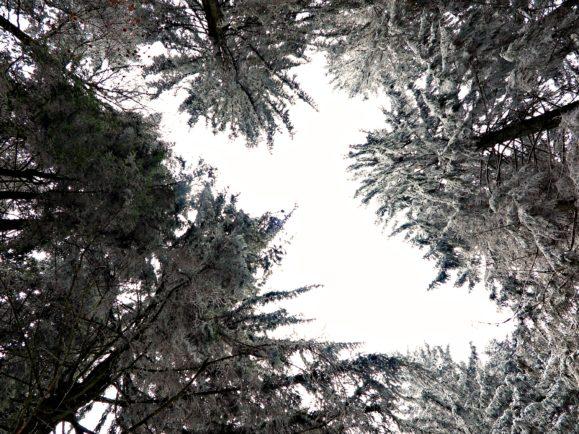 cime des arbres neige